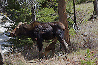Mother moose nurses calf in Yellowstone National Park. This cow was attacked by wolves the previous day which triggered her into an early birth of her calf. She was health when attacked yet unhealthy with infection a week later when her and the calf were killed then consumed.