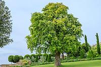 France, Indre-et-Loire (37), Amboise, château d'Amboise, chêne liège (Quercus suber)