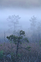 H2S ponds, Bog forest, Kemeri National Park, Latvia