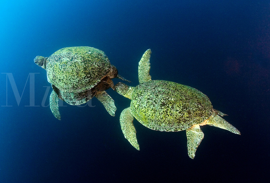 The male green sea turtle, Chelonia mydas, coupled with the female has his job cut out for him.  The pursuing male is biting at his fins in an attempt to persuade him to relinquish his position. Sipidan Island, Malaysia.
