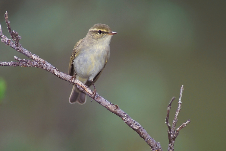 Arctic Warbler - Phylloscopus borealis - Adult