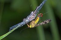 Skorpionsfliege, Skorpions-Fliege, Männchen mit skorpionsschwanzartiger Hinterleibsspitze, frisst an einem in Spinnennetz gefangenen Insekt, Panorpa communis, common scorpionfly, male, Panorpidae, Skorpionsfliegen, scorpionflies