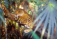 jaguar, Panthera onca, resting on a tree, Pantanal, Mato Grosso do Sul, Brazil