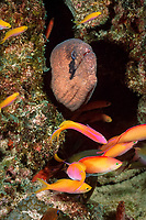masked moray, Gymnothorax breedeni, & peach anthiases, Pseudanthias dispar, Christmas (Kiritimati) Island, Line Islands, Kiribati (Central Pacific Ocean)