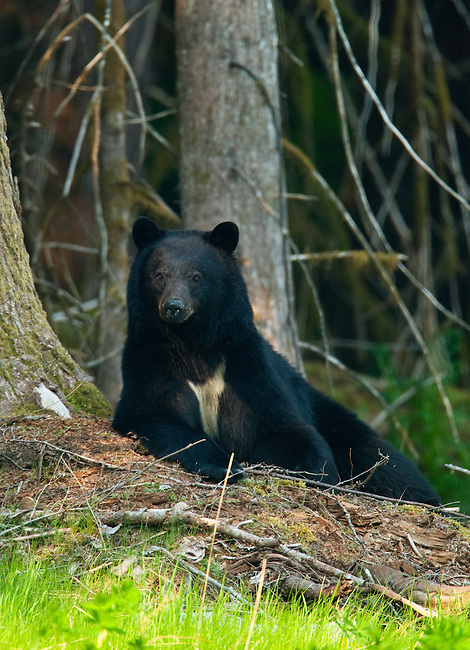 A black bear seen in British Columbia, Canada, on June 1, 2009.  Photo by Gus Curtis.