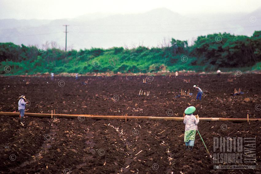 Sugar cane plantation workers in field, Koloa, Island of Kauai