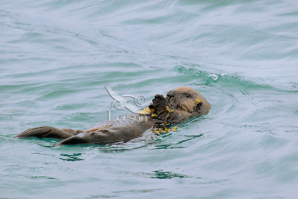 Sea Otter (Enhydra lutris) pup playing with seaweed.