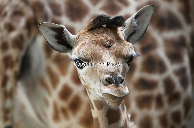 Foto: VidiPhoto..ARNHEM - Opluchting bij de verzorgers van Burgers' Zoo in Arnhem. Na drie miskramen is giraffe Mariska deze week bevallen van een jong. Het meisje Tessel blijkt kerngezond. Zaterdag als het wat warmer is mogen moeder en kind voor het eerst naar buiten en kennis maken met de rest van de groep. Burgers' Zoo heeft met zeventien stuks de grootste kudde Rothschild giraffen van Europa en is tevens stamboekhouder van deze soort. Dat betekent dat de Arnhemse dierentuin bepaalt waar en wanneer er met deze giraffensoort gefokt mag worden..