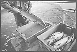 A salmon netter placing newly-caught fish into packing boxes after emptying 'jumper' nets on the sands at Kinnaber, Angus.<br /> Ref. Catching the Tide 44/00/34a (1st August 2000)<br /> <br /> The once-thriving Scottish salmon netting industry fell into decline in the 1970s and 1980s when the numbers of fish caught reduced due to environmental and economic reasons. In 2016, a three-year ban was imposed by the Scottish Government on the advice of scientists to try to boost dwindling stocks which anglers and conservationists blamed on netsmen.