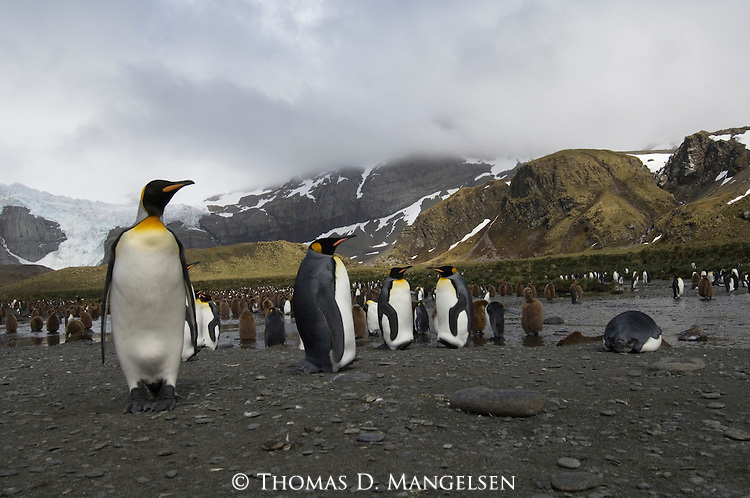 A king penguin colony at Gold Harbour on South Georgia Island.