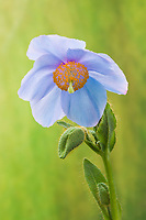A Himalayan Blue poppy flower.