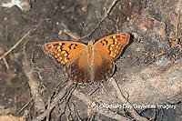 03469-00604 Tawny Emperor (Asterocampa clyton) Mississippi County, MO