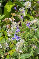 Clematis x diversifolia 'Hendersonii' aka C. eriostemon 'Hendersonii' blue flowers and seedheads