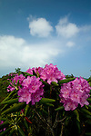 Rhododendron at Round Bald, Appalachian Trail, TN-NC