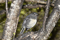 South Island Robin - Petroica australis