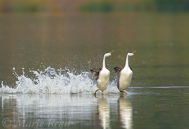 "Western Grebes (Aechmophorus occidentalis) pair during ""rushing"" courtship display, Escondido, California, USA"