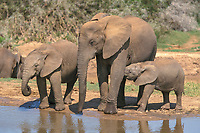 African Bush or Savanna Elephant (Loxodonta africana) with calves at a waterhole
