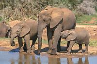 African Bush or Savanna Elephant (Loxodonta africana) with calves at a waterhole