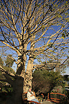 Israel, Judean desert. Baobab tree in Kibbutz Ein Gedi by the Dead Sea