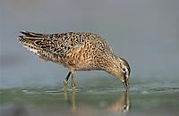 Long-billed Dowitcher, Limnodromus scolopaceus,adult spring plumage, Welder Wildlife Refuge, Sinton, Texas, USA, May 2005