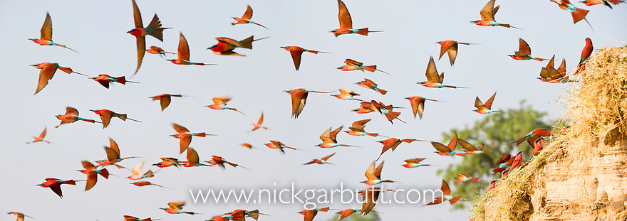 Flock of Southern carmine bee-eaters (Merops nubicoides) in flight from the banks of the Luangwa River, South Luangwa National Park, Zambia, October