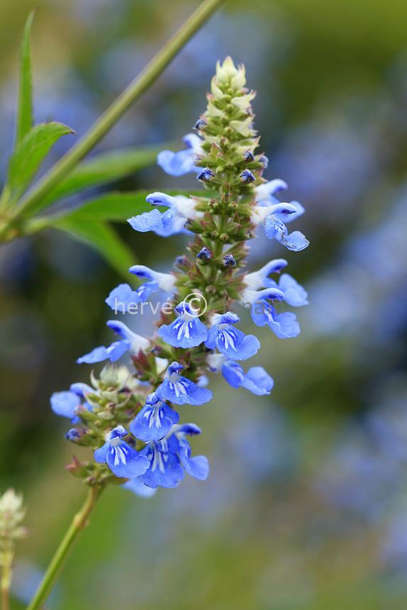 Salvia uliginosa // bog sage, Salvia uliginosa