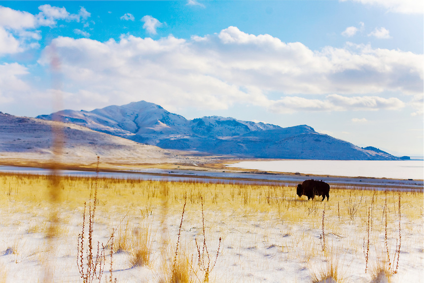 Lone Bison - Antelope Island - Great Salt Lake