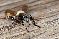 Gelbe Raubfliege, Gelbe Mordfliege, Laphria flava, Bee like Robber-fly, Bee-like Robber-fly, Bee like Robberfly, Raubfliegen, Asilidae, robberfly, robberflies, robber-fly, robber-flies