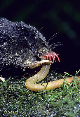 MB16-015x  Star-nosed Mole - eating a worm after a swim - Condylura cristata