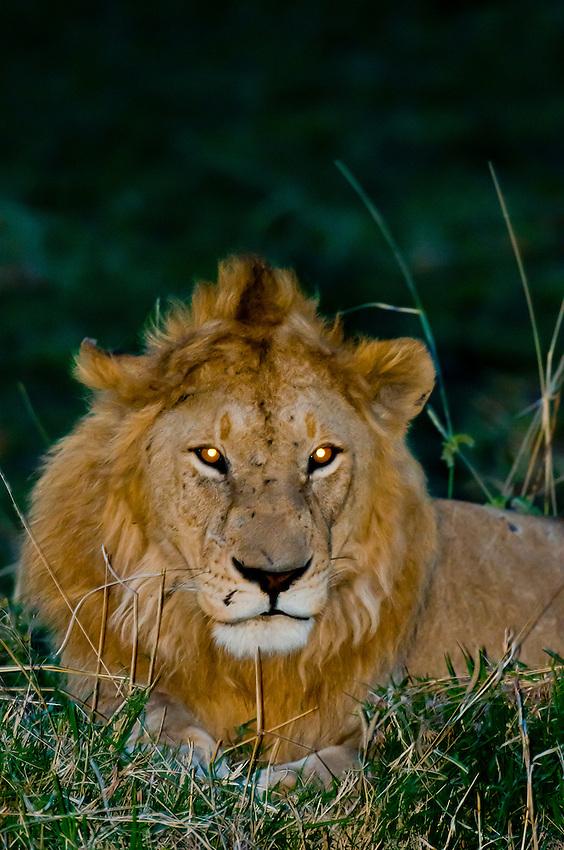 A lion after sunset, Masai Mara National Reserve, Kenya