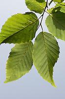 Hainbuche, Hain-Buche, Weißbuche, Weissbuche, Blatt, Blätter vor blauem Himmel, Carpinus betulus, Common Hornbeam, Charme commun, Charmille