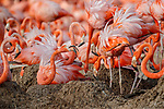 American Flamingo (Phoenicopterus ruber) pair tryting to evict a bird that stole their nest. Yucatan, Mexico.
