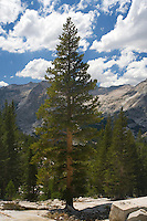 Lodge Pole Pine Trees, Sierra Mountains, California.