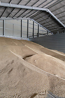 22.7.2020 Winter Barley in a flat floor grain store  ©Tim Scrivener Photographer 07850 303986<br />      ....Covering Agriculture In The UK.