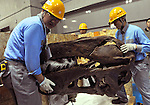 """June 21th, 2011, Tokyo, Japan - Workers assemble a skeletal model of the Tyrannosaurus at the National Science Museum in Tokyo on Tuesday, June 21, 2011. The Tyrannosaurusthe greatest carnivorous dinosaur inhabiting the North American Continent about 70 million to 65 million years agowill face the Triceratops in the special exhibition """"Dinosaurs Expo 2011"""" at the museum in July. (Photo by Natsuki Sakai/AFLO)"""
