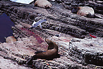 Steller sea lion with newborn pup.  Gull is after the placenta.  Ano Nuevo Island