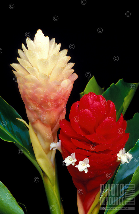 Torch ginger.  Alpinia purpurata cv. Jungle Queen left, Jungle King right