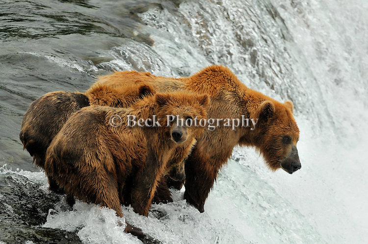 A mother grizzly bear, Ursus arctos horribilis, watches for salmon, Oncorhynchus nerka, as her three cubs look on in Alaska.