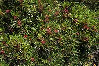 Isola di Pianosa. Pianosa Island.Cespuglio di lentisco.Mastic bush.
