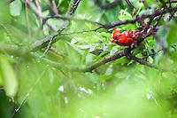 Northern Cardinal, Cardenal norte&ntilde;o, Cardinalis cardinalis su nombre cient&iacute;fico <br /> <br /> ****<br /> Reserva Monte Mojino (ReMM) de la Natural Culture International (NCI)<br /> <br /> Credito:LuisGutierrez