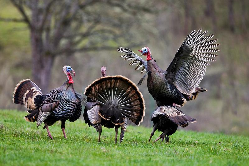 Wild Turkeys trying to mate. Wildlife Safari. Winston, Oregon