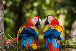 Scarlet Macaws - General Images