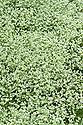Scleranthus uncinatus, mid June.