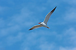 Forster's Tern in Flight, Bolsa Chica Wildlife Refuge, Southern California