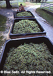 Nissley Vineyard, grape harvest, Lancaster County PA, Pennsylvania vineyard.