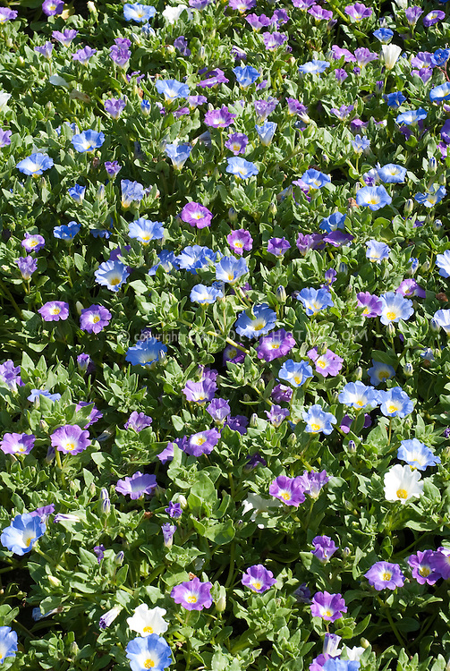 Chilean Bellflower Nolana paradoxa 'Bird Mixture' with blue, purple, white flowers