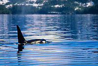 Orca spyhops in Aialik bay, Kenai Fjords National Park, Alaska