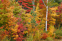 Keweenaw County, Upper Peninsula, MI<br /> Hardwood forest in fall color