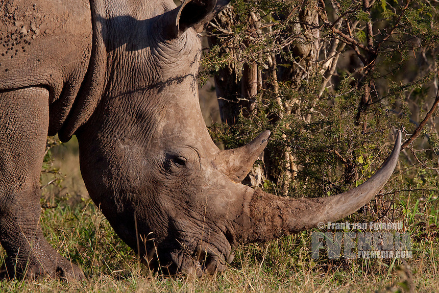 White Rhinoceros (Ceratotherium Simum)..Adult Rhino. Headshot, face detail, closeup..Winter, May 2009..Hluhluwe-Imfolozi Game Reserve, Kwazulu Natal, South Africa.