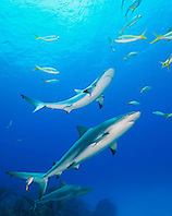 Caribbean Reef Sharks, Carcharhinus perezi, and Yellowtail Snappers, Ocyurus chrysurus, over coral reef, West End, Grand Bahamas, Atlantic Ocean